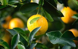 How To Grow A Lemon Tree Indoors Step by Step + Tips & Tricks!