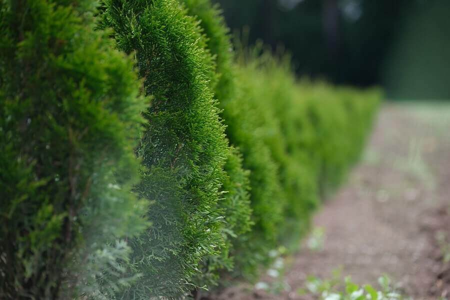 Green bush hedge