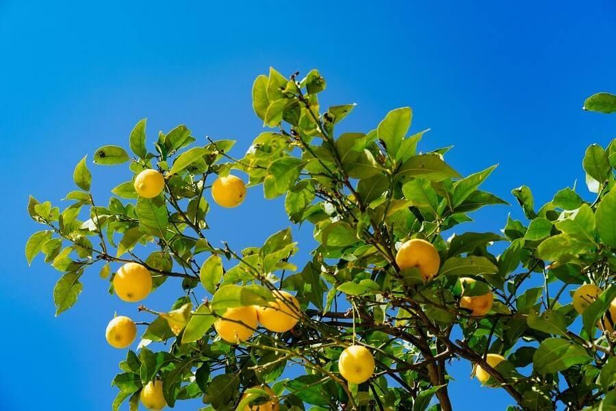 Lemon tree outdoors on a sunny day