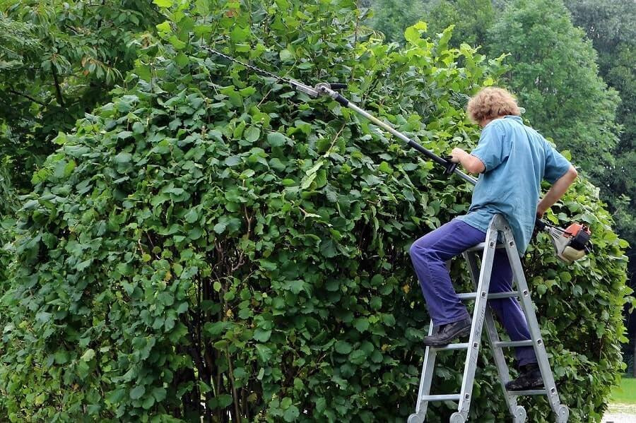 Man on a ladder with a hedge trimmer