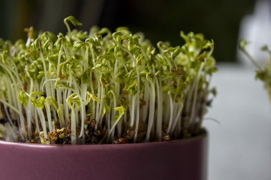 Been sprouts growing in a pot