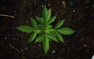 Top 7 Best Soil for Cannabis to Get for Abundant Growth in [year]!