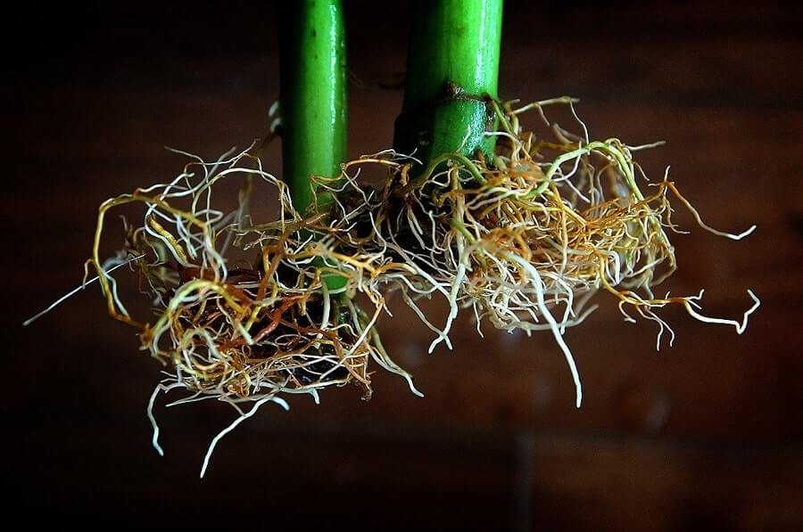 Flower roots