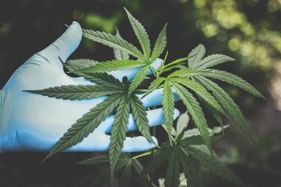 Person holding cannabis plant with gloves
