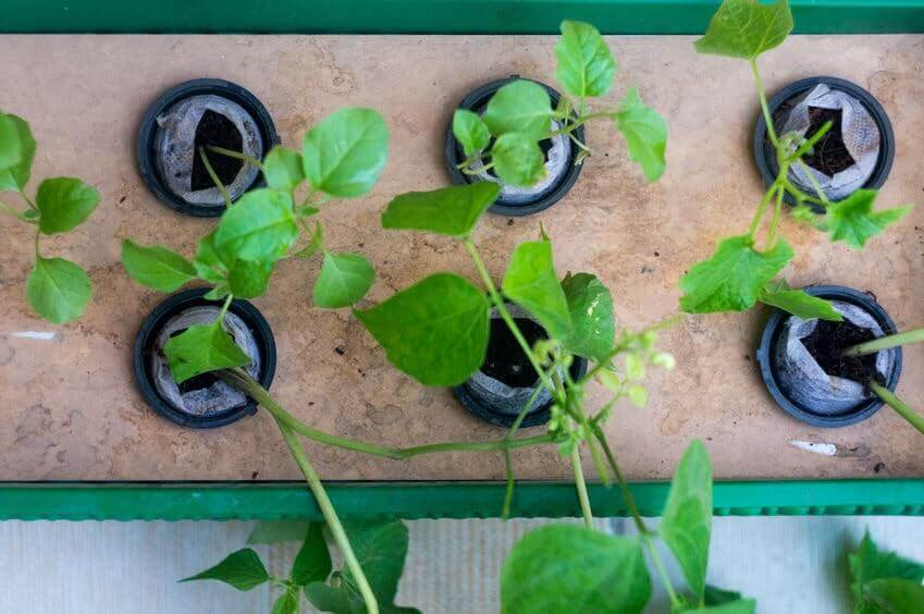 Plants growing in small pots with hydroponics