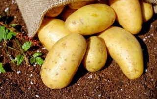 Growing Potatoes Indoors: Full Guide + 6 LED Grow Light Reviews