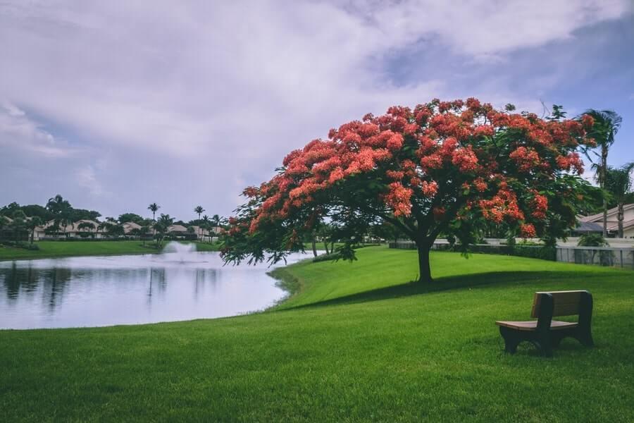 Red flowering trees besides water