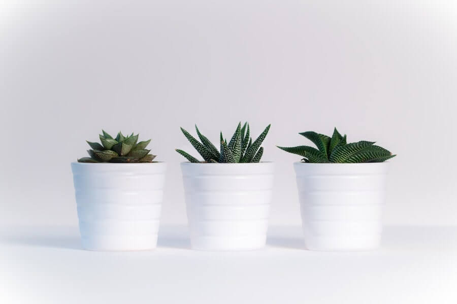 Three potted succulents