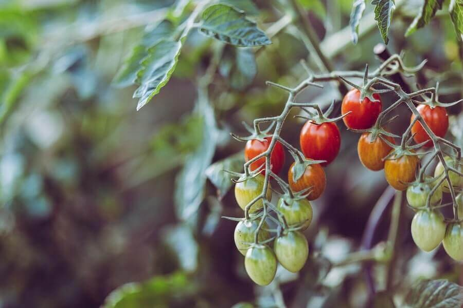 Tomatoes hanging in a vine