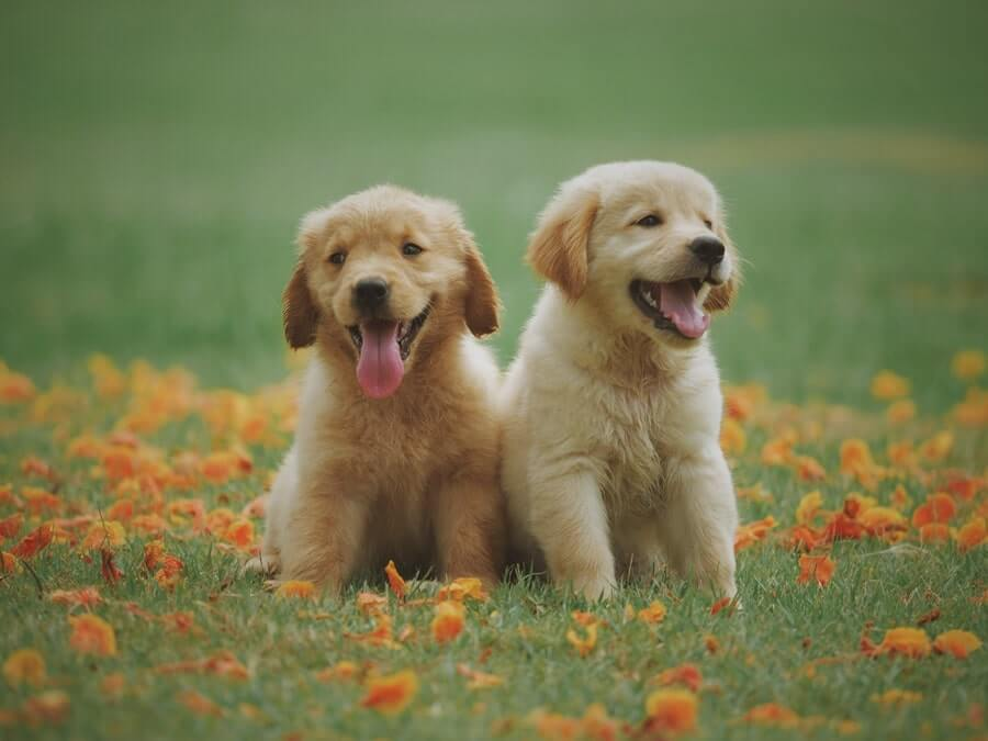 Two yellow labradors sitting on grass