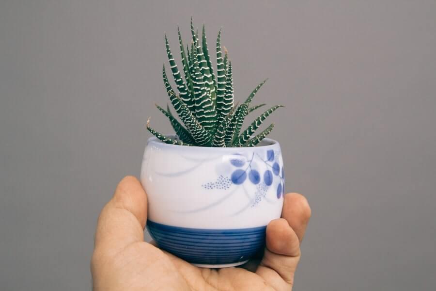 Zebra Aloe Vera plant