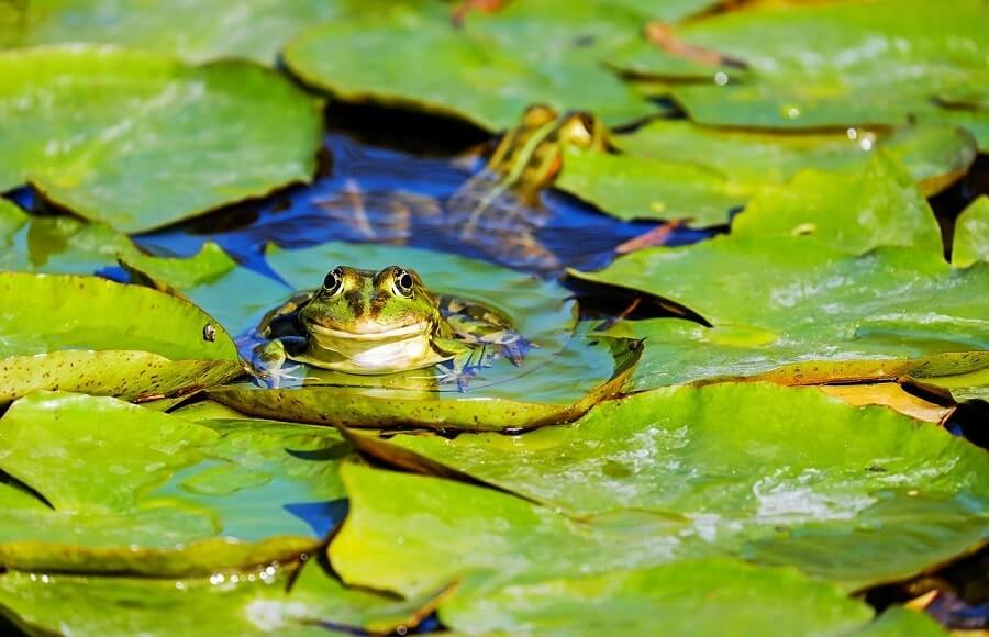 Frog in water on leaf