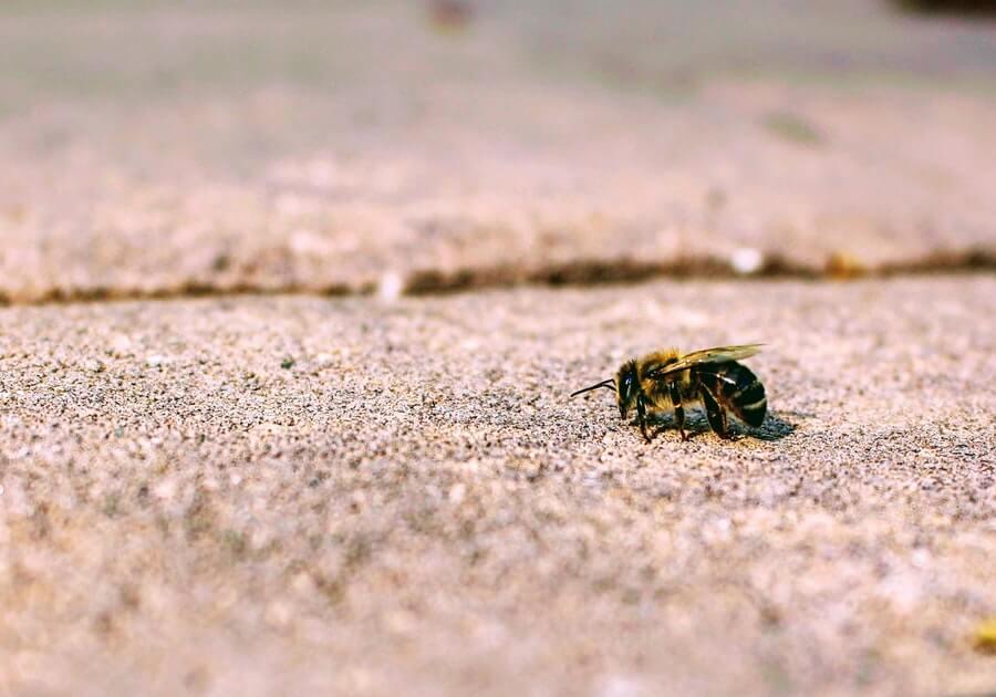 Bee on pavement
