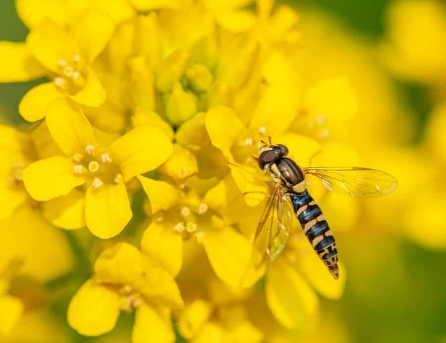 Hornet on flowers