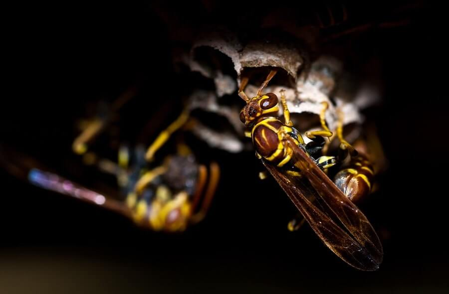 Yellowjacket wasps