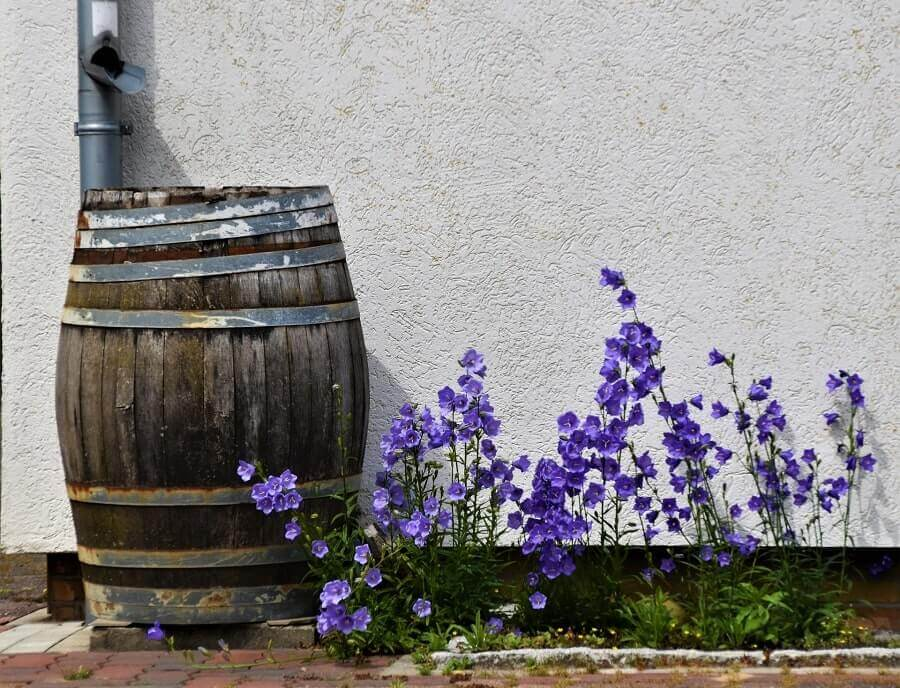Rain barrel besides purple flowers