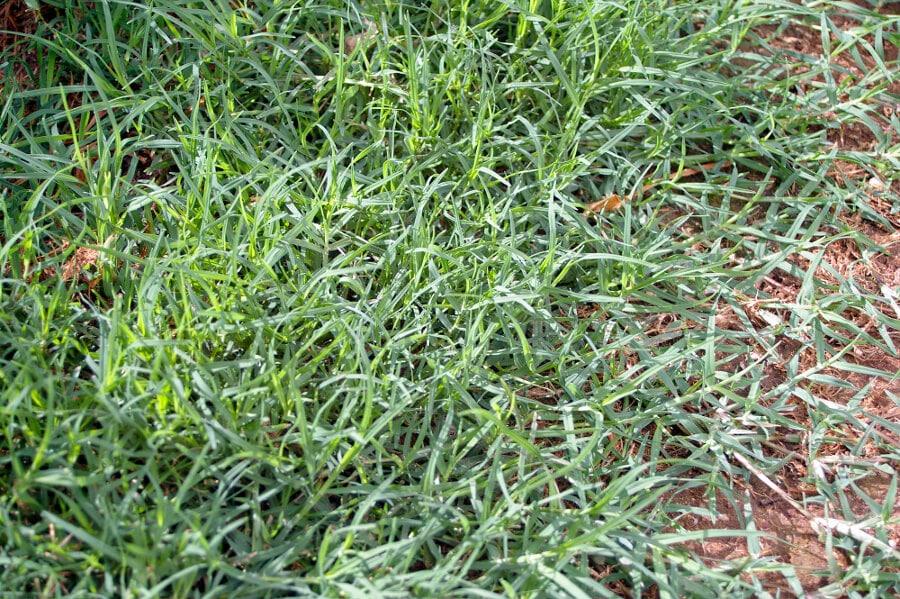 Bermuda Grass Cynodon Dactylon