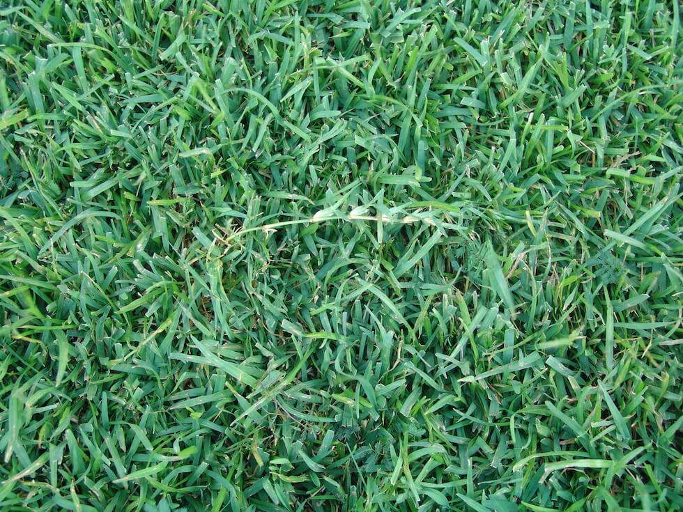 Centipede Grass Closeup