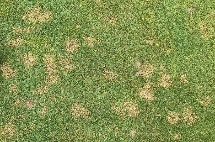 Dollar Spot Disease in Grass
