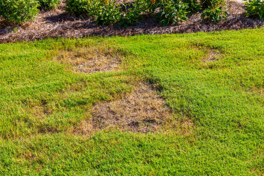 bare yellow spots in grass