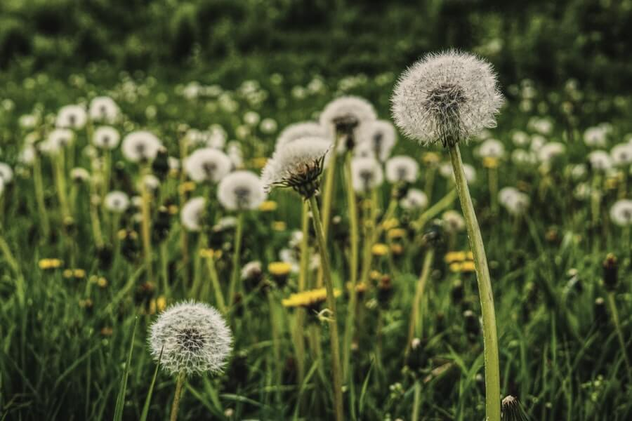 bed of dandelion
