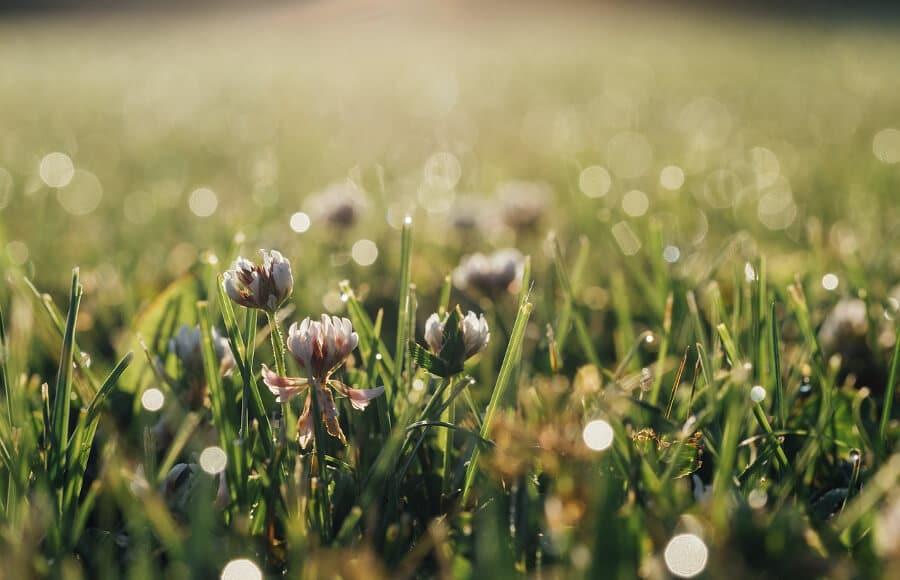 clover trefoil floral grass lawn