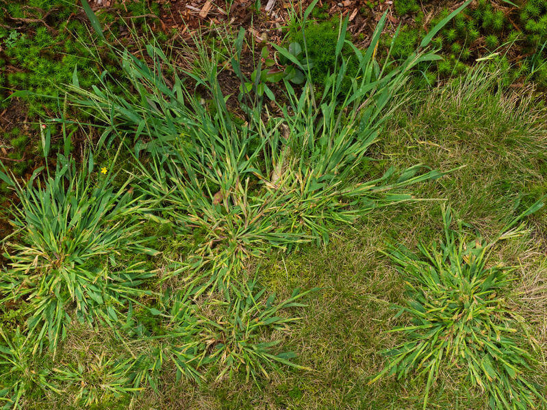 crabgrass closeup photo