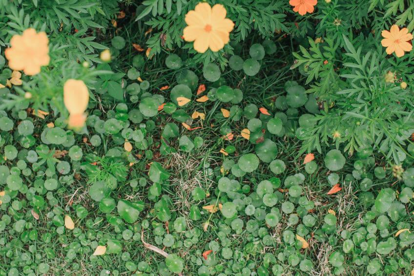 dollarweed growing in garden