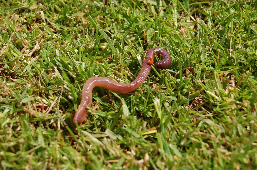 earthworm crawling on green lawn