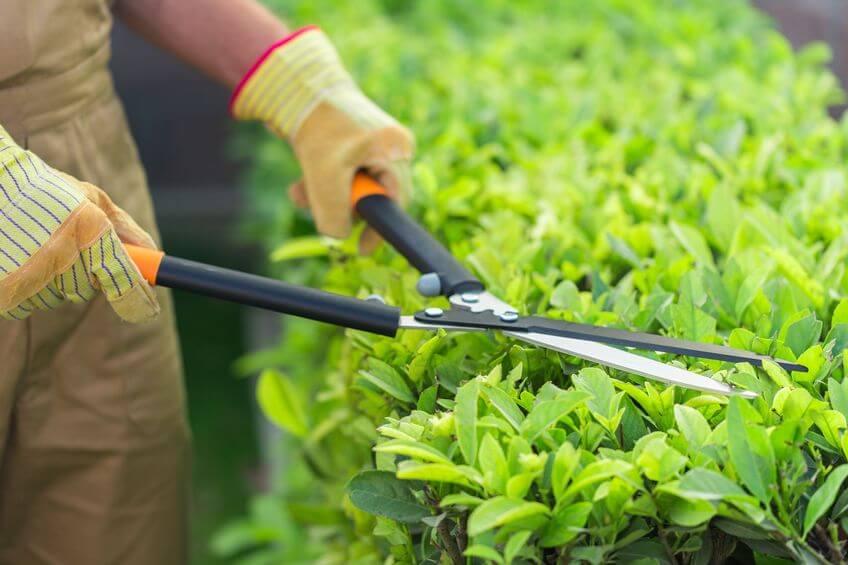 gardener using a manual hedge shears