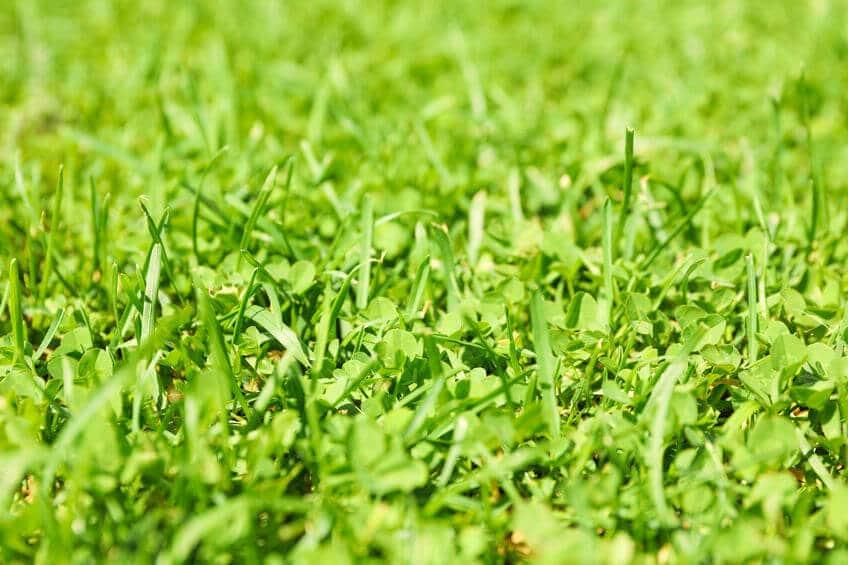 grass with clover mix close up
