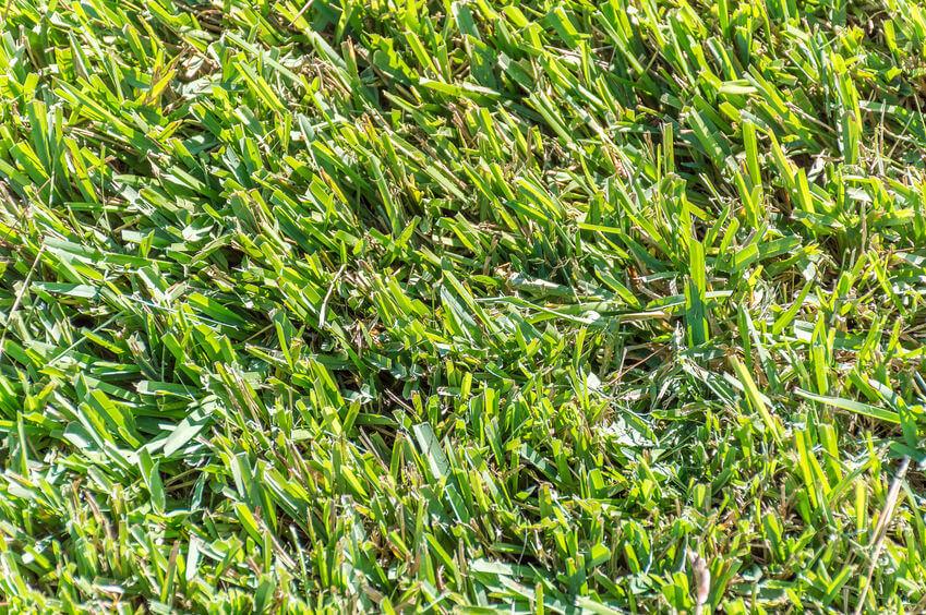 green centipede grass lawn closeup