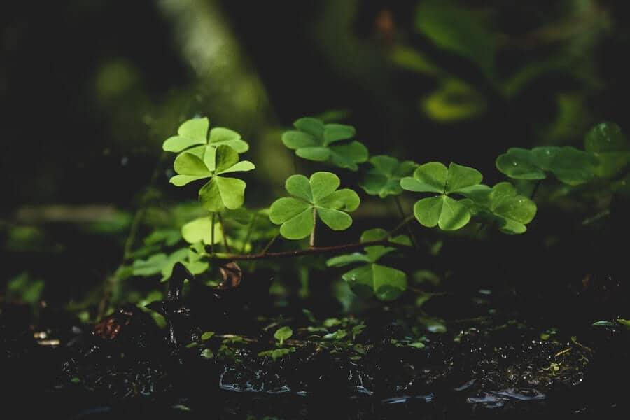 green clover plants on black soil