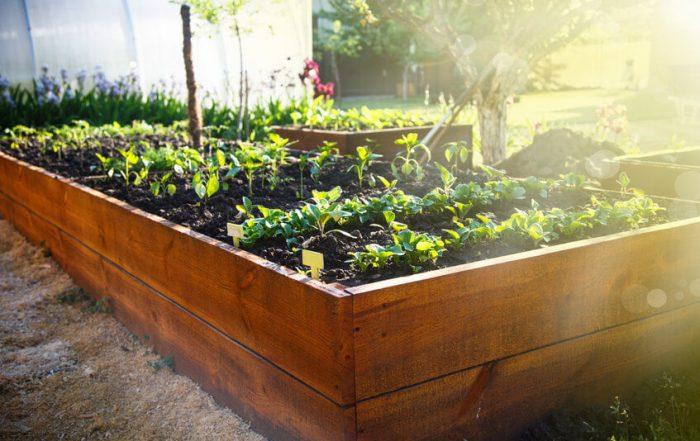 growing in raised beds in sunlight