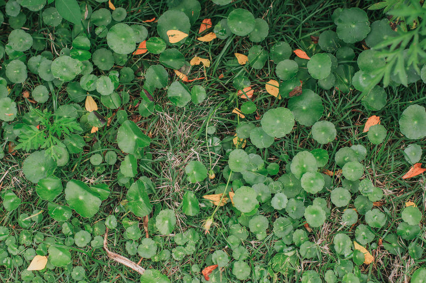 hydrocotyle spp dollaweed on lawn