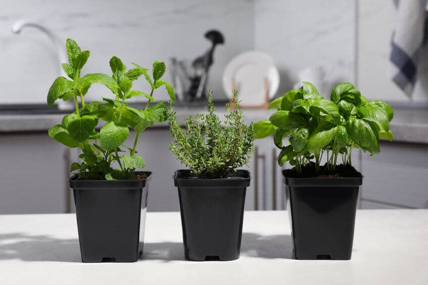 mint and other herbs growing in pots indoors