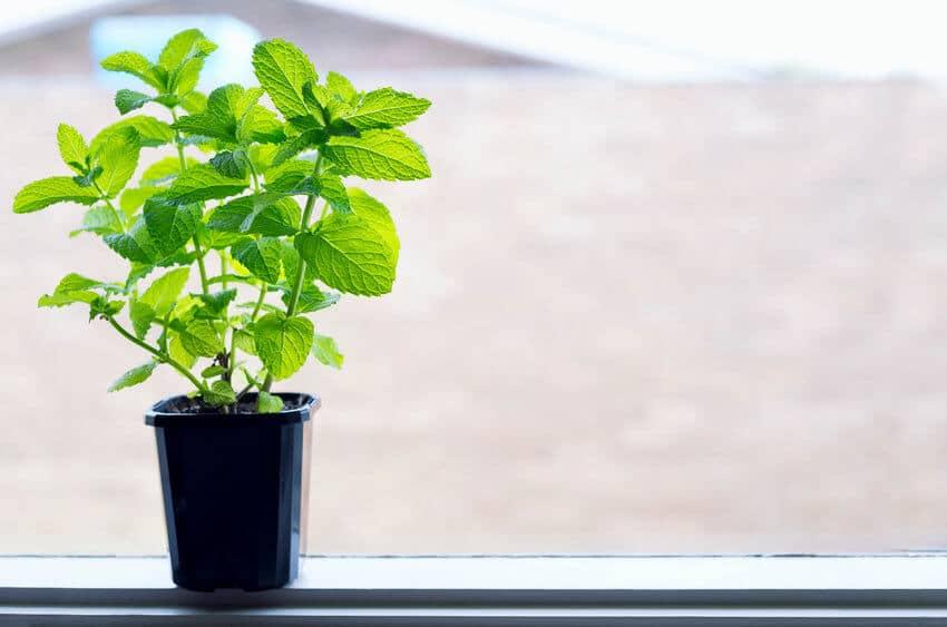 mint growing indoors in pot
