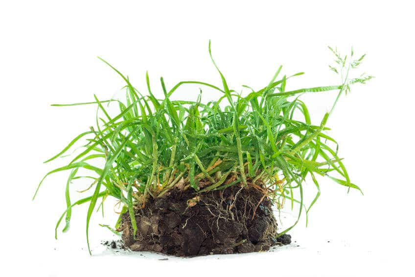 quackgrass with deep roots