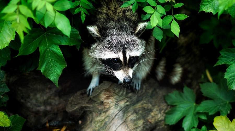 raccoon in tree behind leaves