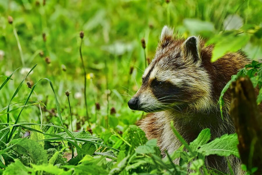 raccoon on green grass