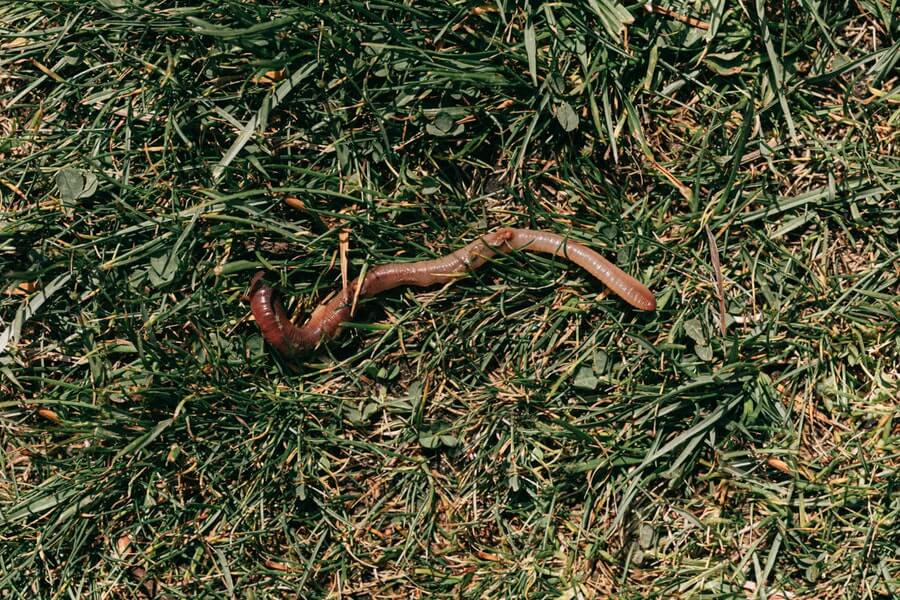 red earthworm crawling on green grass