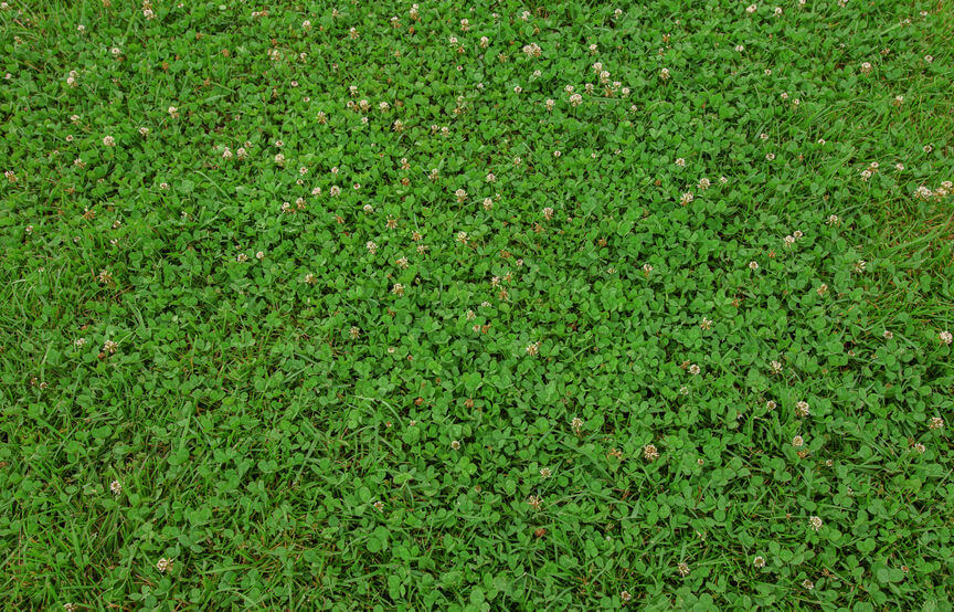 rich green natural clover lawn