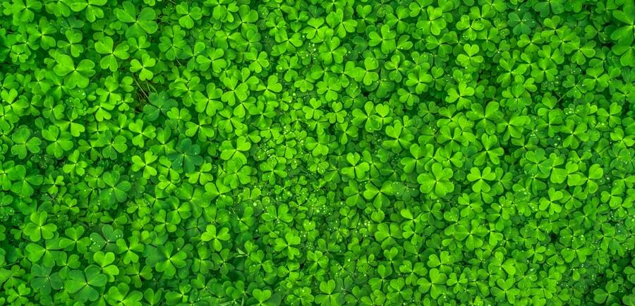 top view of clover leaves