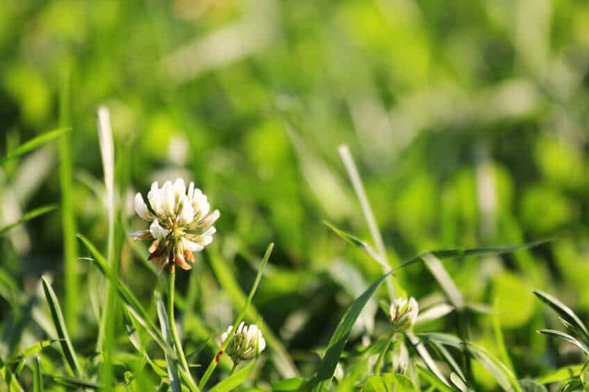white clover flowers on lawn in spring