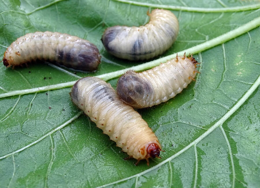 white grubs on green leaves