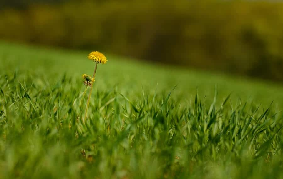 yellow dandelion in green grass lawn